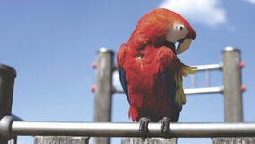 Red Parrot on Bar on Sunny Cloudless Day Stock Photography