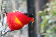 Red Parrot. A beautiful colorful parrot in a cage Royalty Free Stock Photography