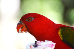 Red parrot Stock Photo