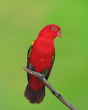 Red parrot Royalty Free Stock Photography