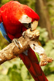 Red parrot bending over and nibbling on a wooden branch. Royalty Free Stock Photos