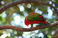 Red parrot bird Stock Image