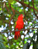 Red Parrot bird Stock Images