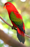 Red Parrot bird Royalty Free Stock Image
