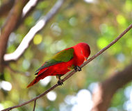 Red Parrot bird Stock Photos