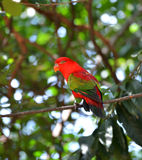 Red Parrot bird Royalty Free Stock Photography