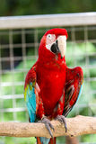 Red parrot on a branch. Scarlet Macaw parrot perching on a branch Stock Images