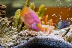 Red Parrot Cichlid (Гибридный попугай плыве. Photo of exotic fish in home aquarium Stock Image