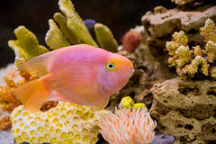 Red Parrot Cichlid (Гибридный попугай среди. Photo of exotic fish in home aquarium Royalty Free Stock Photography