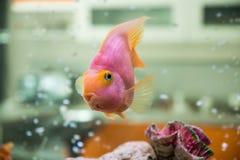 Red Parrot Cichlid (Гибридный попугай словн. Photo of exotic fish in home aquarium Stock Image