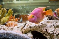 Red Parrot Cichlid (Гибридный попугай). Photo of exotic fish in home aquarium Stock Photos