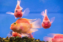 Red Parrot Cichlid Royalty Free Stock Images