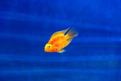 Red Parrot Cichlid Royalty Free Stock Photo