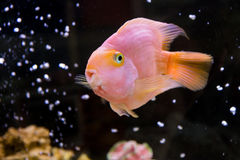 Red Parrot Cichlid. Photo of exotic fish in home aquarium Royalty Free Stock Photo