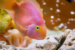 Red Parrot Cichlid. Photo of exotic fish in home aquarium Royalty Free Stock Images