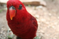 Red parrot. Close-up of a brightly red lorikeet head Stock Images