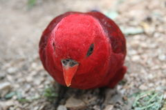 Red parrot. Close-up of a brightly red lorikeet head Stock Photos