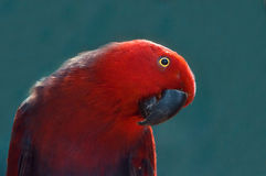 Red Parrot close up shot.  Beautiful parrot on a blue background Royalty Free Stock Image