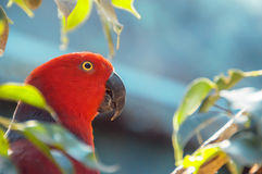 Red Parrot close up shot.  Beautiful parrot among the leaves. Eclectus parrot. Eclectus roratus Stock Image
