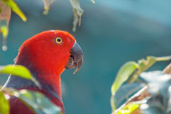 Red Parrot close up shot.  Beautiful parrot among the leaves. Eclectus parrot. Eclectus roratus Stock Photography