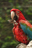 Red parrot eating on a branch. Large red ara parrot sitting on a branch, eating Royalty Free Stock Photography