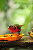 Red parrot eating tropical fruit Royalty Free Stock Photo