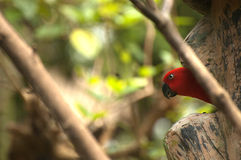 Red Parrot. Endangered red parrot exit his cage to fly Royalty Free Stock Image