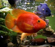 Red parrot fish. In the aquarium with air-cells and blue fish Stock Photos