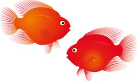 Red parrot fish  Stock Photos
