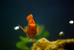 Red parrot fish. In the aquarium Stock Photography