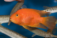 Red parrot fish Royalty Free Stock Images
