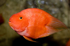 Red parrot fish Royalty Free Stock Image