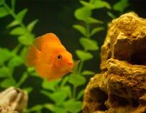 Red parrot fish in aquarium. Red parrot fish stones and grass in the aquarium Royalty Free Stock Photo