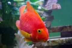 Red parrot fish in aquarium. Big Red parrot fish in aquarium and bubbles Royalty Free Stock Images