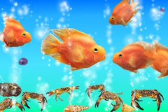 Red parrot fish in the aquarium, cichlids from Lak Stock Images