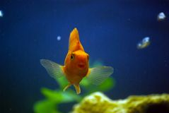 Red parrot fish and bubbles. In the aquarium Royalty Free Stock Photos