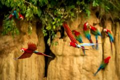 Red parrot in flight. Macaw flying, green vegetation in background. Red and green Macaw in tropical forest. Brazil, Wildlife scene from tropical nature royalty free stock image