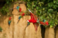 Red parrot in flight. Macaw flying, green vegetation in background. Red and green Macaw in tropical forest stock image