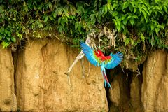 Red parrot in flight. Macaw flying, green vegetation in background. Red and green Macaw in tropical forest, Brazil, Wildlife scene. From tropical nature stock photography