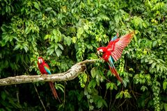 Red parrot in flight. Macaw flying, green vegetation in background. Red and green Macaw in tropical forest. Peru, Wildlife scene from tropical nature stock images