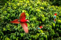 Red parrot in flight. Macaw flying, green vegetation in background. Red and green Macaw in tropical forest. Peru, Wildlife scene from tropical nature royalty free stock images