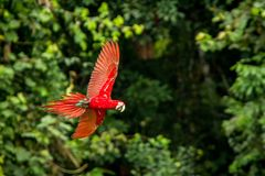 Red parrot in flight. Macaw flying, green vegetation in background. Red and green Macaw in tropical forest. Peru, Wildlife scene from tropical nature stock photo