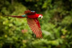 Red parrot in flight. Macaw flying, green vegetation in background. Red and green Macaw in tropical forest. Peru, Wildlife scene from tropical nature royalty free stock photography