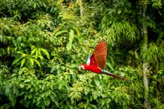 Red parrot in flight. Macaw flying, green vegetation in background. Red and green Macaw in tropical forest. Peru, Wildlife scene from tropical nature stock image