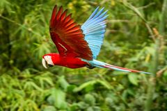 Red parrot in flight. Macaw flying, green vegetation in background. Red and green Macaw in tropical forest stock photos