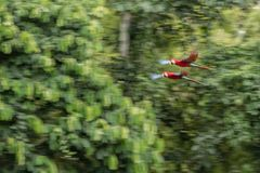 Red parrot in flight. Macaw flying, green vegetation in background. Red and green Macaw in tropical forest. Peru, Wildlife scene from tropical nature royalty free stock photos