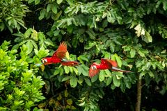 Red parrot in flight. Macaw flying, green vegetation in background. Red and green Macaw in tropical forest stock photography