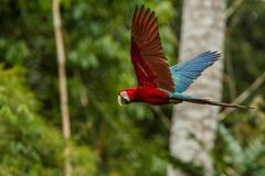 Red parrot in flight. Macaw flying, green vegetation in background. Red and green Macaw in tropical forest stock photo