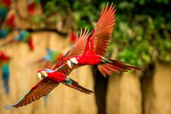 Red parrot in flight. Macaw flying, green vegetation in background. Red and green Macaw in tropical forest. Brazil, Wildlife scene from tropical nature royalty free stock photography