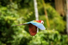 Red parrot in flight. Macaw flying, green vegetation in background. Red and green Macaw in tropical forest royalty free stock images